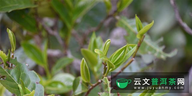 普洱茶的生命周期可以分为几个阶段